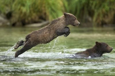Brown Bear Cub, Katmai National Park, Alaska