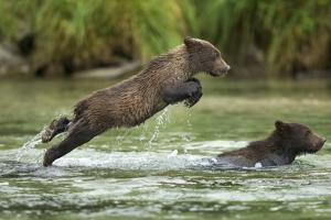 Brown Bear Cub, Katmai National Park, Alaska by Paul Souders