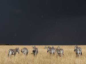 Burchell's Zebras on Savanna Below Stormy Sky by Paul Souders