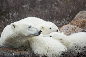Canada, Manitoba, Churchill, Polar Bear and Young Cubs Resting by Paul Souders