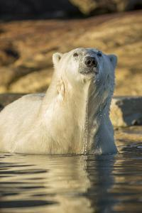 Canada, Nunavut, Polar Bear Wading into Shallow Water of Hudson Bay by Paul Souders