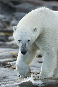 Canada, Nunavut, Repulse Bay, Polar Bear Patrolling Along Shoreline by Paul Souders