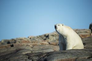 Canada, Nunavut, Repulse Bay, Polar Bear Sitting on Mountain Slope by Paul Souders