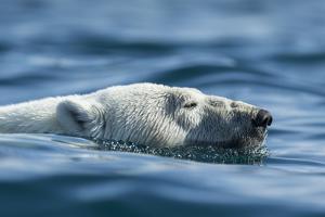 Canada, Nunavut, Repulse Bay, Polar Bear Swimming Near Harbour Islands by Paul Souders