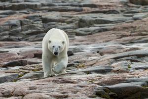 Canada, Nunavut, Repulse Bay, Polar Bear Walking across Rock Surface by Paul Souders