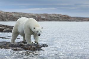 Canada, Nunavut, Repulse Bay, Polar Bear Walking Along Shoreline by Paul Souders