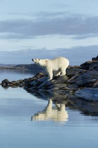 Canada, Nunavut, Repulse Bay, Polar Bears Standing Along Shoreline by Paul Souders