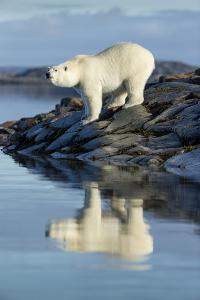 Canada, Nunavut, Repulse Bay, Polar Bears Standing Along the Shore by Paul Souders