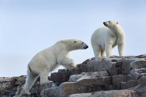 Canada, Nunavut, Repulse Bay, Polar Bears Walking across Stony Ridge by Paul Souders