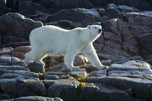 Canada, Nunavut, Repulse Bay, Polar Bears Walking Along Shore by Paul Souders