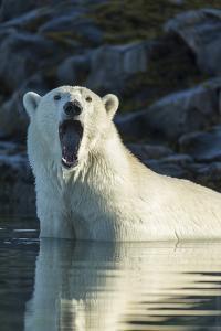 Canada, Nunavut, Repulse Bay, Polar Bears Yawning in Water by Paul Souders