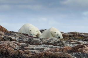 Canada, Nunavut, Repulse Bay, Two Polar Bears Resting Along a Ridge by Paul Souders
