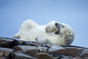 Canada, Nunavut Territory, Repulse Bay, Male Polar Bear Yawning by Paul Souders