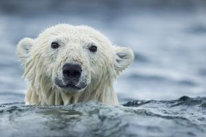 Canada, Nunavut Territory, Repulse Bay, Polar Bear Swimming Near Harbor Islands by Paul Souders