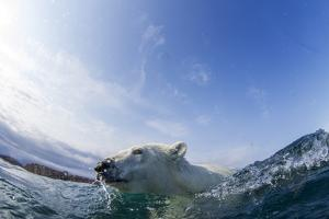 Canada, Nunavut Territory, Repulse Bay, Polar Bear Swimming by Paul Souders