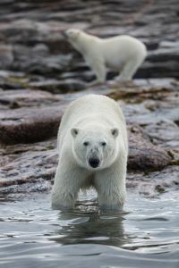 Canada, Nunavut Territory, Repulse Bay, Polar Bears Along Shoreline by Paul Souders