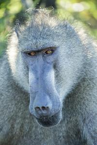 Chacma Baboon, Kruger National Park, South Africa by Paul Souders