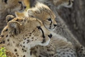 Cheetah Cub and Mother by Paul Souders