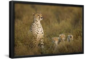 Cheetah Cubs and their Mother by Paul Souders