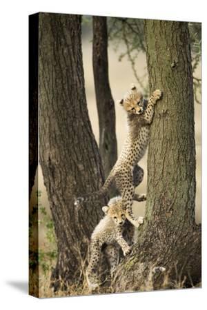 Cheetah Cubs Playing at Ngorongoro Conservation Area, Tanzania