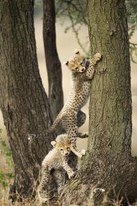 Cheetah Cubs Playing at Ngorongoro Conservation Area, Tanzania by Paul Souders