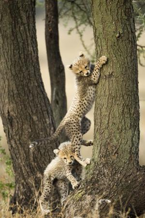 Cheetah Cubs Playing at Ngorongoro Conservation Area, Tanzania by Paul Souders