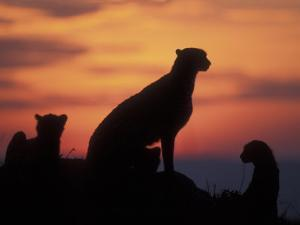 Cheetah Silhouetted By Sunset, Masai Mara Game Reserve, Kenya by Paul Souders