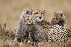 Cheetah with Cubs in Masai Mara National Reserve by Paul Souders