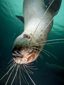 Curious Steller Sea Lion Swimming Underwater by Paul Souders