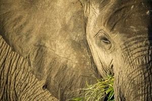 Elephant Feeding on Grass, Chobe National Park, Botswana by Paul Souders
