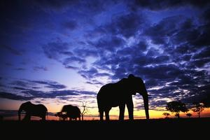 Elephant Silhouettes by Paul Souders
