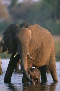 Elephant with Calf Wading in River by Paul Souders