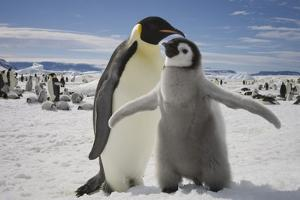 Emperor Penguin and Chick in Antarctica by Paul Souders