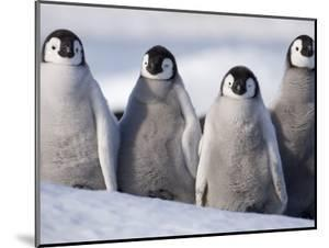 Emperor Penguins in Antarctica by Paul Souders