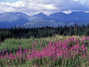 Fireweed Blooms near Kluane National Park, Yukon, Canada by Paul Souders