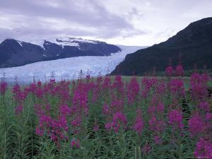 Fireweed in Aialik Glacier, Kenai Fjords National Park, Alaska, USA by Paul Souders