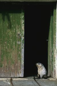 Fur Seal Standing in Doorway by Paul Souders