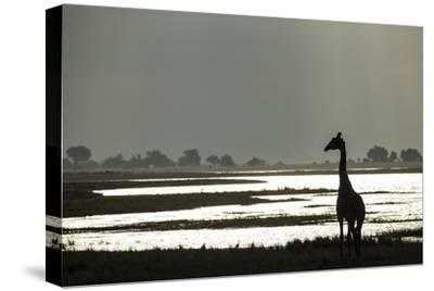 Giraffe along Chobe River, Chobe National Park, Botswana