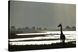 Giraffe along Chobe River, Chobe National Park, Botswana by Paul Souders
