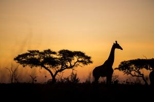 Giraffe at Dusk, Chobe National Park, Botswana by Paul Souders