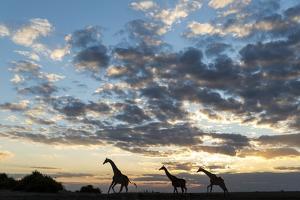 Giraffe Herd along Chobe River, Chobe National Park, Botswana by Paul Souders