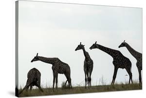 Giraffe Herd, Chobe National Park, Botswana by Paul Souders