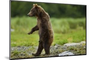 Grizzly Bear, Katmai National Park, Alaska by Paul Souders