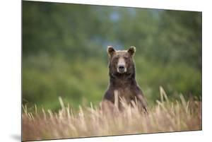 Grizzly Bear Standing over Tall Grass at Kukak Bay by Paul Souders