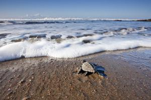Hatchling Sea Turtle Heads to the Ocean by Paul Souders