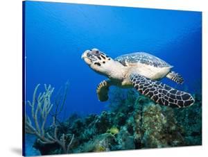 Hawksbill Turtle Swimming above Reef by Paul Souders