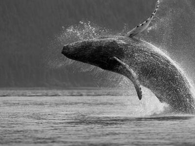 Humpback Whale Breaching, Chatham Strait, Angoon, Tongass National Forest, Alaska, Usa by Paul Souders