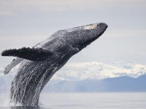 Humpback Whale Breaching in Frederick Sound by Paul Souders