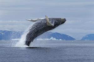 Humpback Whale Calf Breach in Disko Bay in Greenland by Paul Souders
