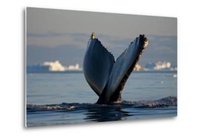 Humpback Whale in Disko Bay in Greenland
